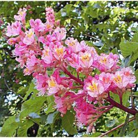 5061-fleur-de-bach-marronnier-rouge-vente-en-ligne