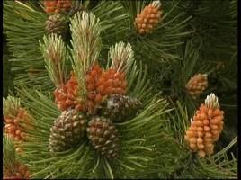 531767852-floraison-des-pommes-de-pin-aiguille-plante-danemark-brise
