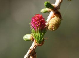 693px-larch_female_flower