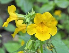 mimulus-fleurs-jaunes-full-13471745